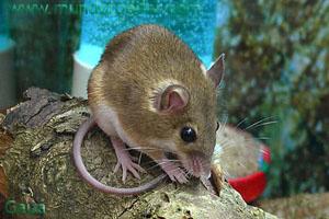 Ratones ratones implante cerebral los ratones con el pasar del tiempo aprendieron a - Como eliminar ratones en el hogar ...