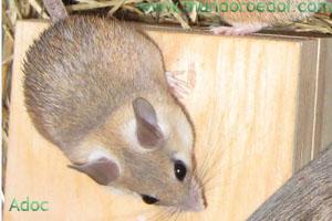conocido en ocasiones como ratn espinoso africano o egipcio poco a poco esta especie se va haciendo ms popular entre los amantes de los roedores